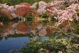 龍安寺 鏡容池畔の桜