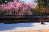 龍安寺 方丈縁側から石庭の桜
