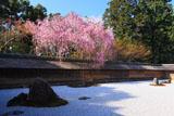 龍安寺 石庭の紅枝垂れ桜