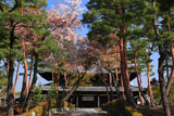 相国寺 山桜と法堂