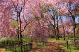 京都御苑 近衛邸の紅枝垂れ桜