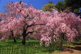 京都御苑近衛邸の紅しだれ桜