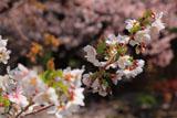 京都の墨染桜