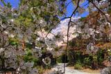 大原野神社の千眼桜の花