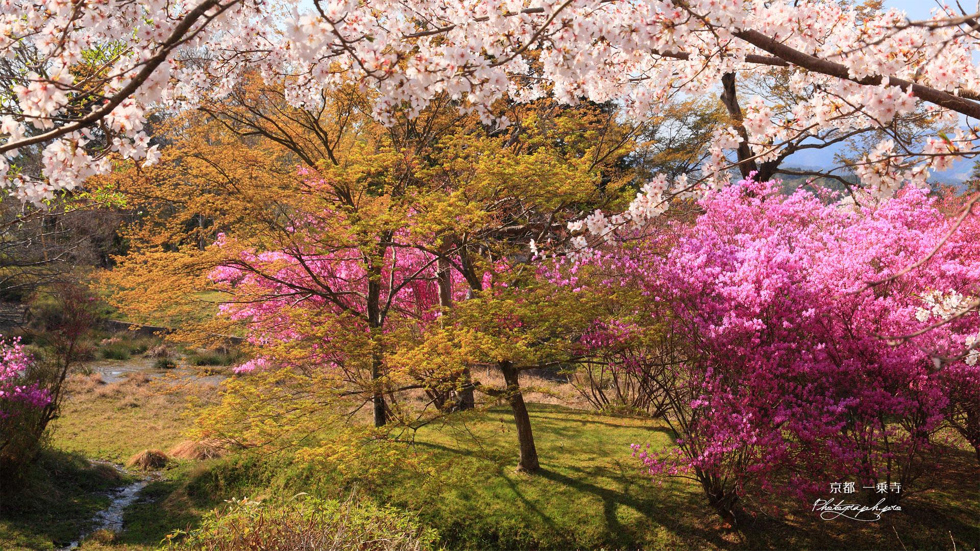 一乗寺 曼殊院の桜と三葉躑躅