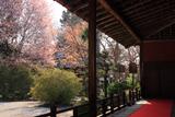 曼殊院 大書院縁側から庭園の山桜