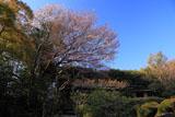 詩仙堂の山桜と残月軒