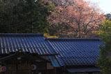 京都八大神社 社務所と山桜