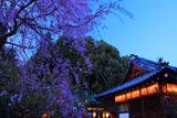 赤山禅院の枝垂れ桜と拝殿