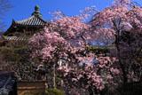 善峯寺の枝垂桜と経堂