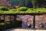 善峯寺 遊龍松と枝垂桜