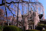 善峯寺の桂昌院のしだれ桜