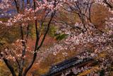 京都金蔵寺 ヤマザクラと仁王門
