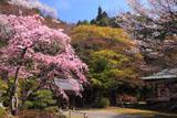 京都金蔵寺 サクラ咲く境内