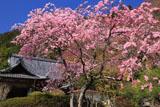 京都金蔵寺 シダレザクラと客殿