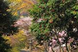 京都金蔵寺 ツバキとサクラ