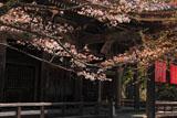 京都金蔵寺 山桜と本堂