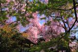 京都養源院 モミジの花