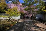 京都養源院 新緑と枝垂桜