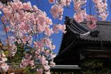法住寺 八重紅枝垂桜と阿弥陀堂