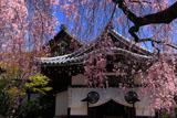 京都養源院 枝垂桜と本堂