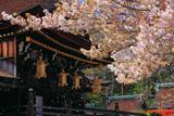 北野天満宮の桜散る