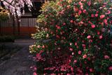 京都椿寺 五色八重散椿と本堂