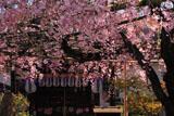 京都椿寺 紅しだれ桜と地蔵堂