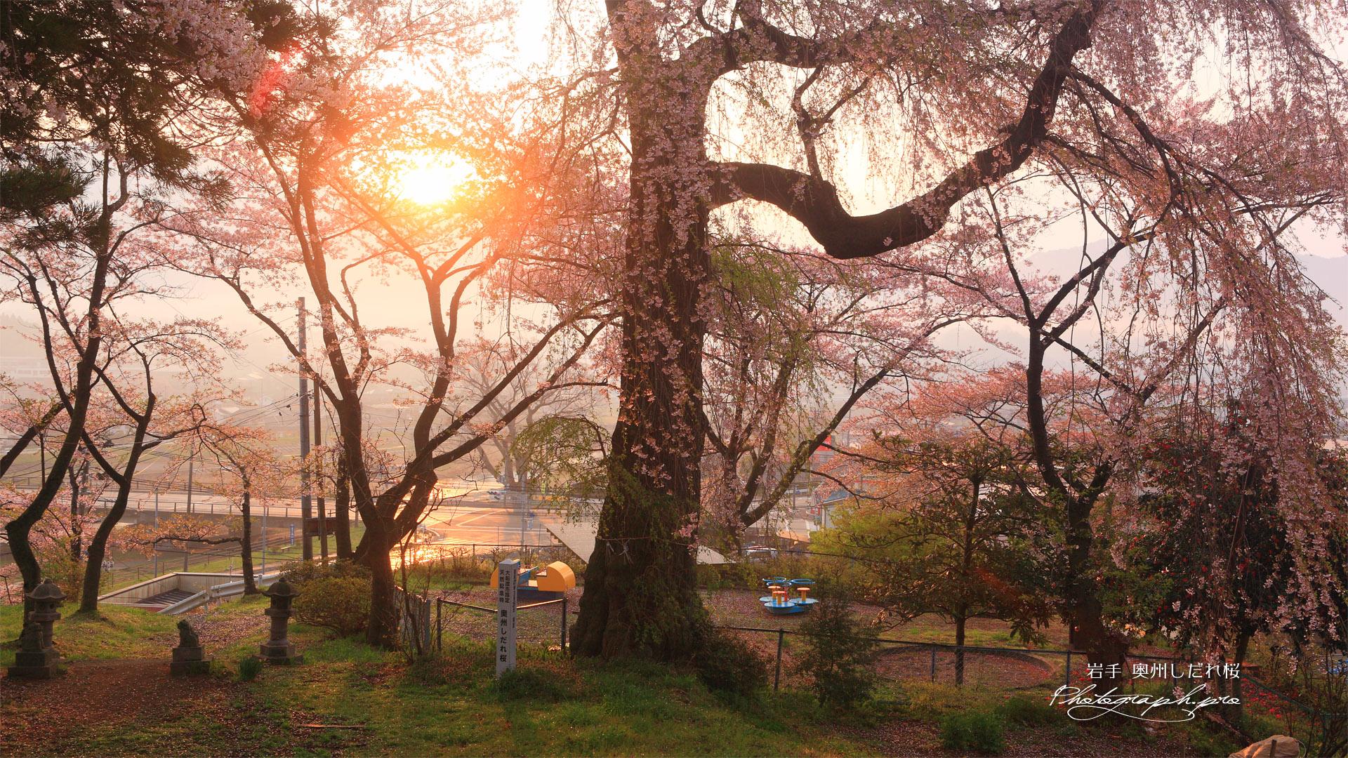 奥州しだれ桜(吉野森神社)