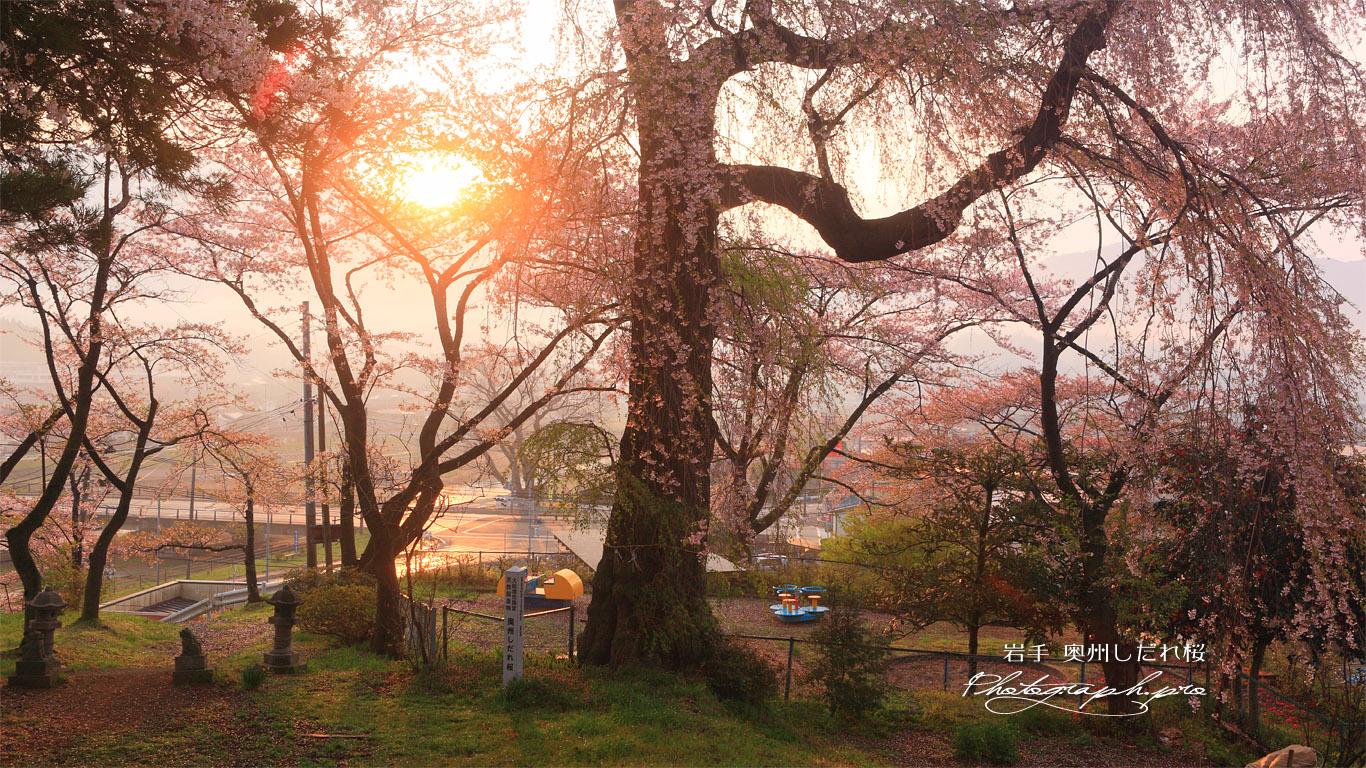 奥州しだれ桜(吉野森神社) 壁紙