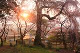 大船渡の桜