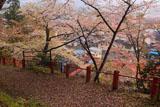 紅ひがん桜?