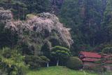 奥州しだれ桜(長安寺)