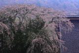 大船渡市 長安寺の枝垂れ桜