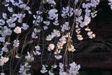 法華寺の盛岡枝垂桜