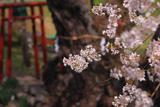 宮宿の種蒔桜
