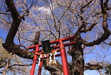 伊豆の権現桜