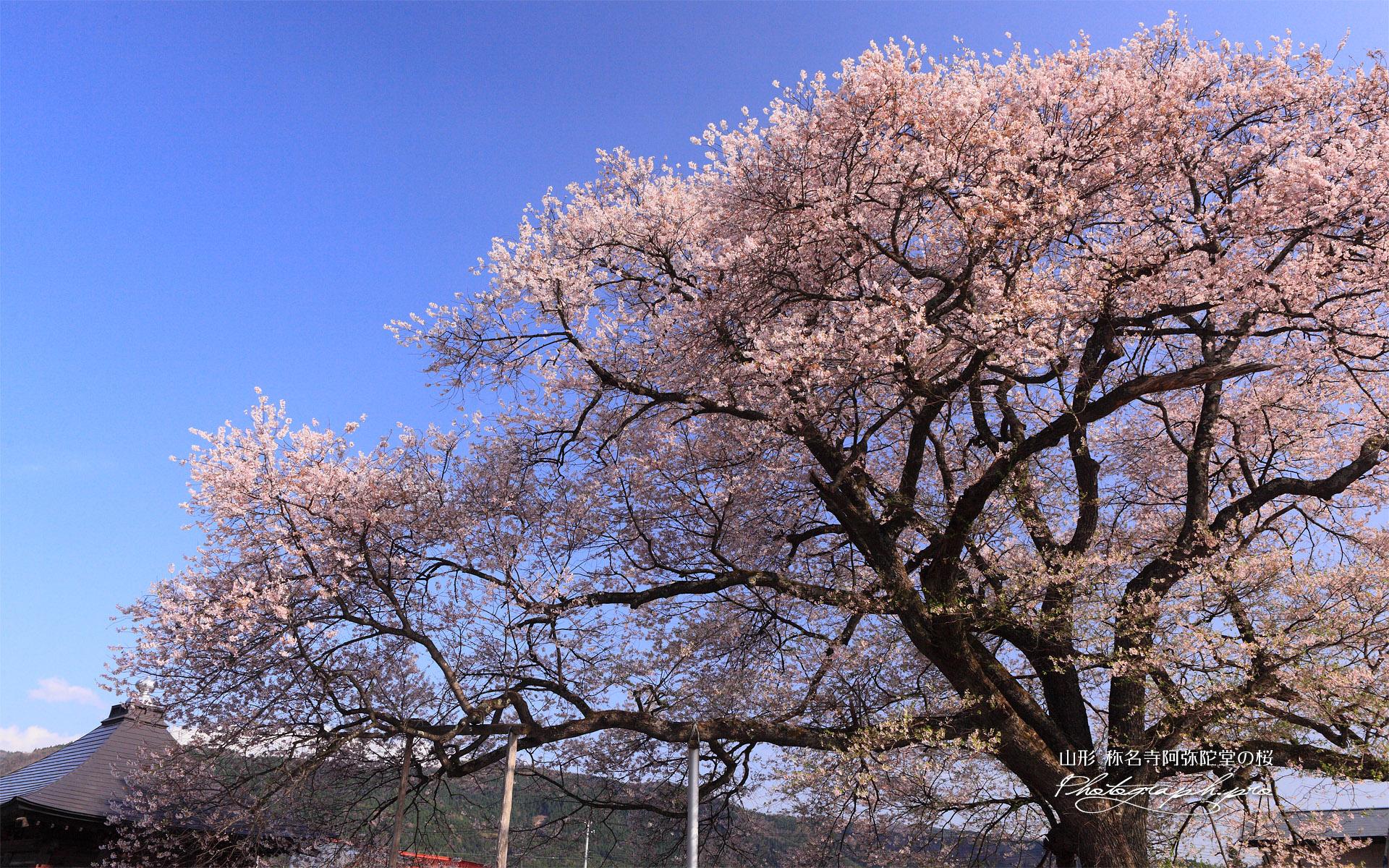 称名寺阿弥陀堂の桜