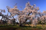 山口奨学桜 満開