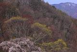 田ノ上の枝垂れ桜