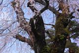 鳳泉寺の枝垂桜