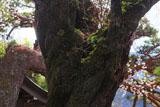 鳳泉寺のしだれ桜