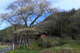 街道脇に立つ菅のエドヒガン
