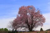 嶽原の一本桜