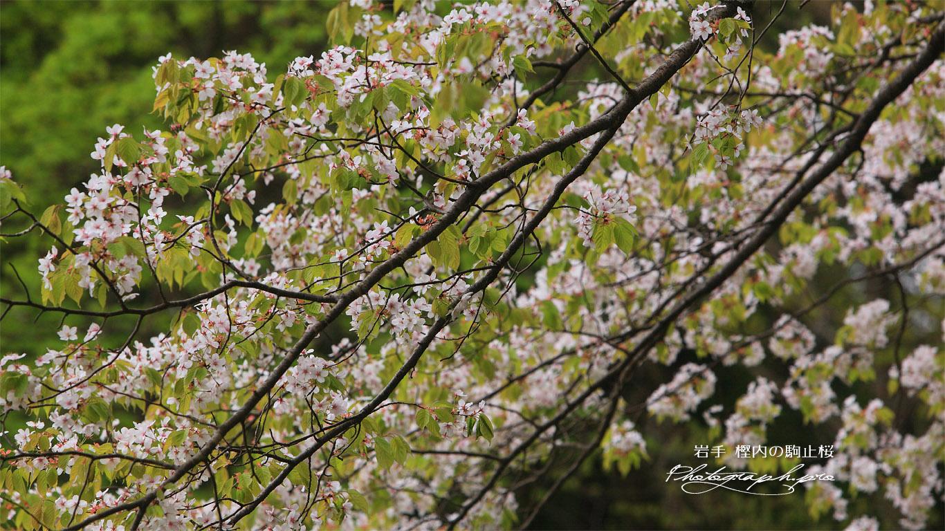 樫内の駒止桜 壁紙