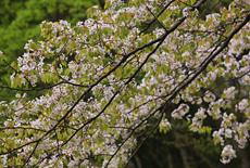 樫内の駒止桜