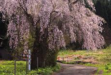 潟の枝垂桜