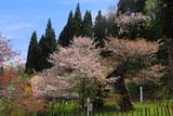 老桜の葛岡のカスミ桜