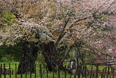 葛岡のかすみ桜