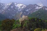 樽口峠の霞桜
